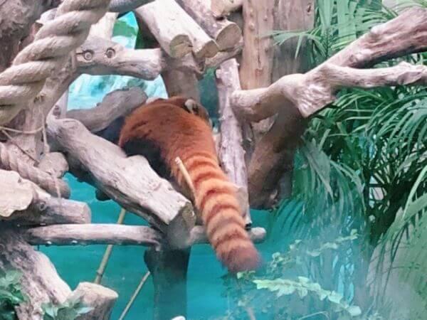 マカオ レッサーパンダ