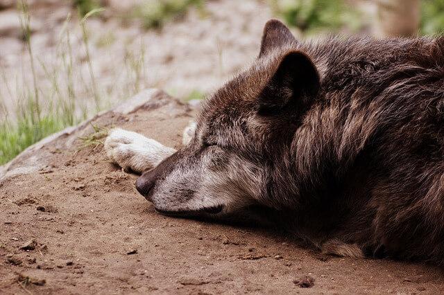 ブログ オオカミ家族