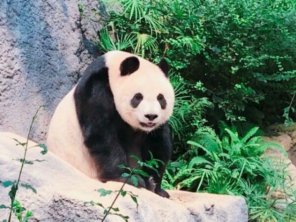 マカオ パンダ 動物園