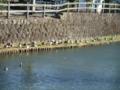 [水路][カモ]うずま公園で憩うカモ