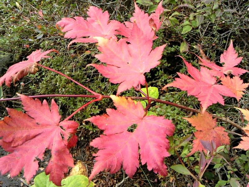 紅葉はじまる。の画像