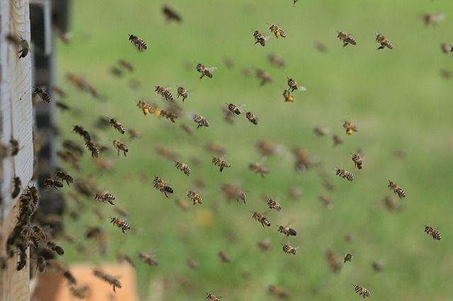 蜂刺されの症状と応急処置