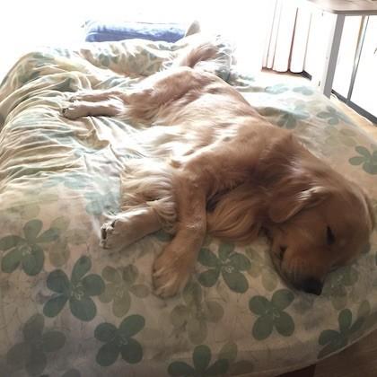 ベッドで眠るゴールデンレトリバー