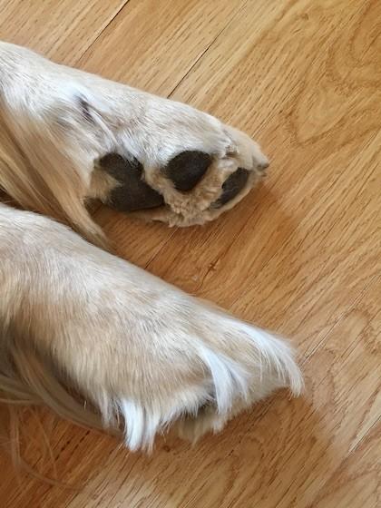 犬の足裏トリミング