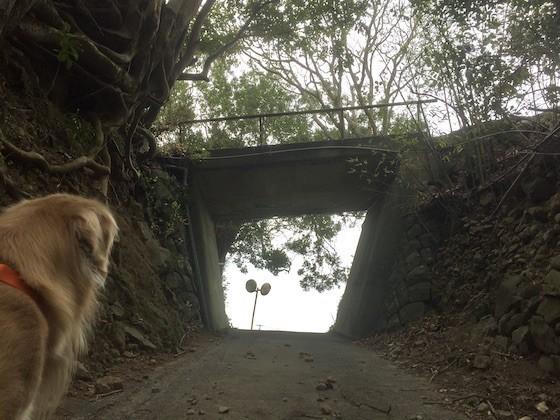 ゴールデンレトリバーと林道の陸橋