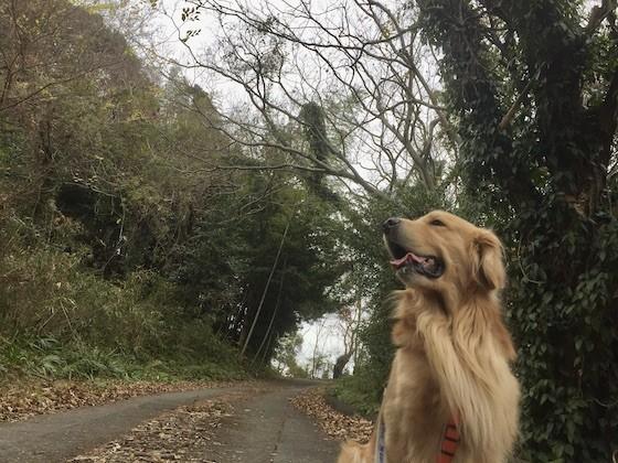 ゴールデンレトリバーと林道の坂道