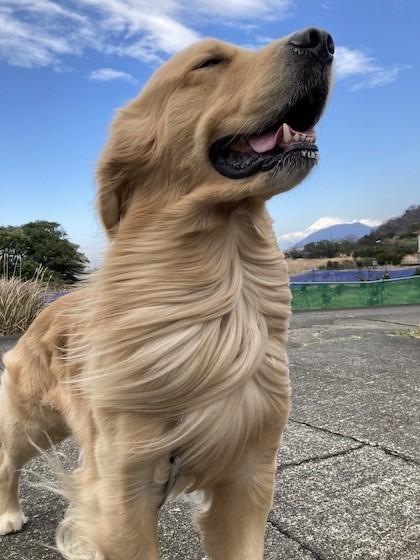 風の中のゴールデンレトリバー