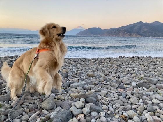 海岸の犬と夕陽に染まる富士山