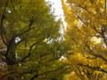 銀杏(いちょう)並木1