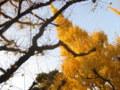銀杏(いちょう)並木3