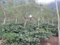 ジャワコーヒーの農園(イジェン盆地,東ジャワ州,インドネシア)