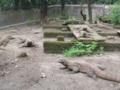 コモドドラゴン(スラバヤ動物園,東ジャワ州,インドネシア)