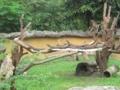 コモドドラゴンの子供達(スラバヤ動物園,東ジャワ州,インドネシア)