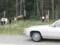 カナダのエルク(バンフ国立公園,アルバータ州,カナダ)