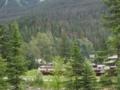Mountain Pine Beetle感染がかなり激しい(ヨーホー国立公園,BC,カナダ)