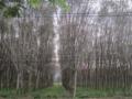 プーケットのゴム園(プーケット県,タイ)