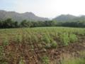 まだまだのひまわり畑(サラブリー県,タイ)