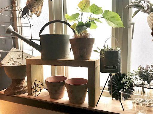 楽天マラソン 観葉植物 卓上植物 ウンベラータ