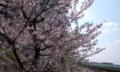 葉桜   4月1日東京