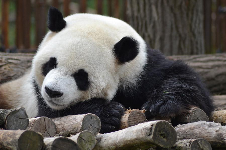 パンダ 寝る 睡眠