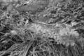 西瓜の成長記録2013年6月8日(土曜日)モノクローム☆