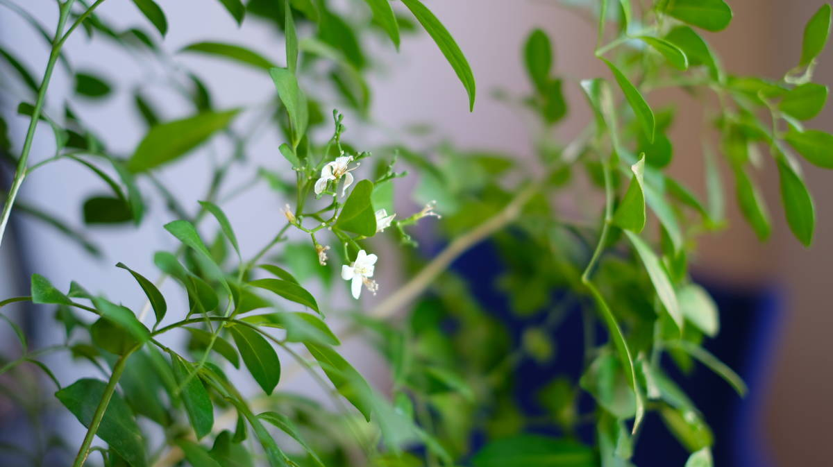 在宅勤務の気分転換。ちょっと大きめ観葉植物を部屋に置きませんか。 シルクジャスミン