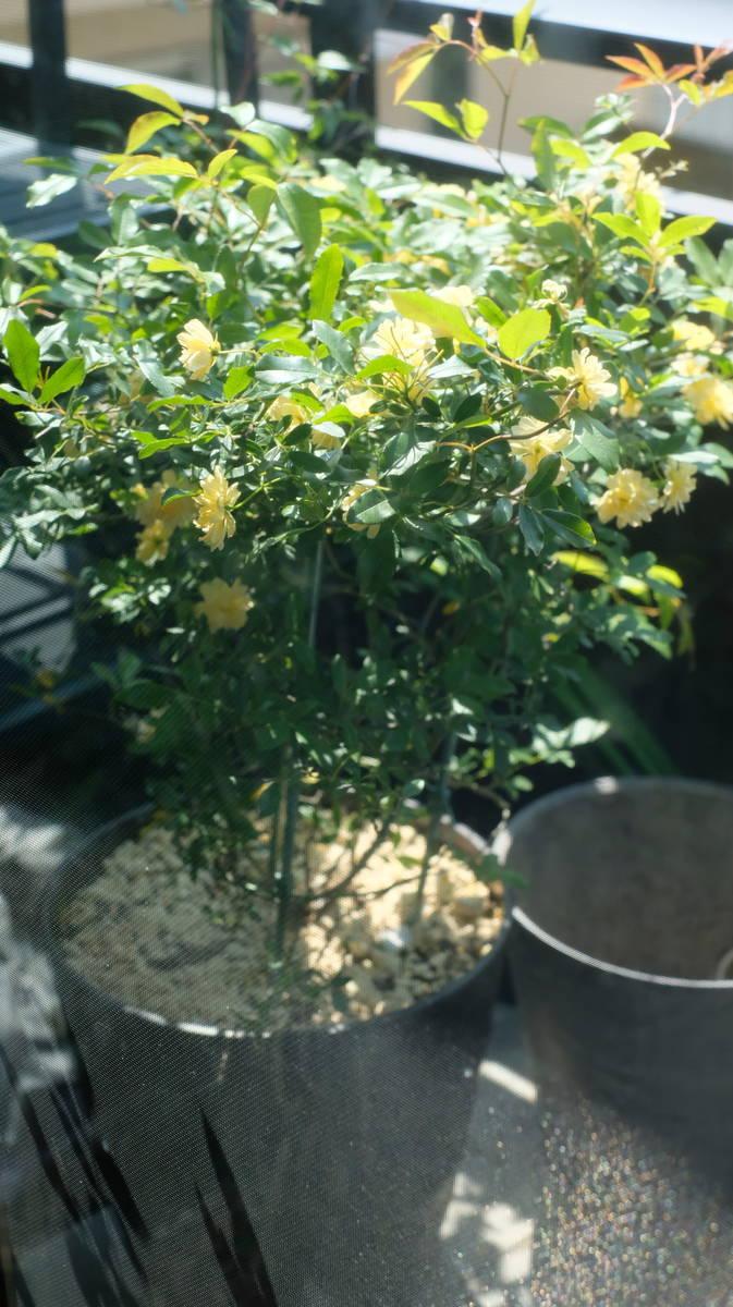 賃貸の狭いベランダで果樹栽培(5月の記録)モッコウバラ