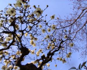木蓮とこれからの桜の空