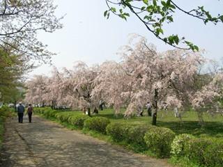 羊山公園しだれ桜1