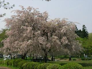 羊山公園しだれ桜2