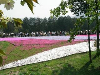 羊山公園芝桜1