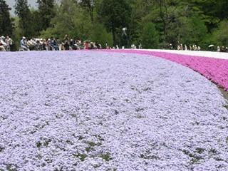 羊山公園芝桜3