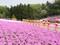羊山公園芝桜4