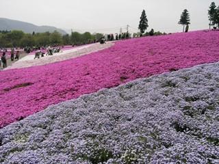 羊山公園芝桜12