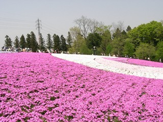 羊山公園芝桜13