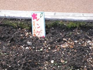 目黒アトレ空中庭園レンゲ(種まき10/25)