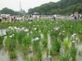 北山公園菖蒲まつり1