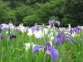北山公園菖蒲まつり7