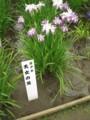 北山公園菖蒲まつり15