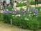 北山公園菖蒲まつり28
