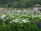 北山公園菖蒲まつり29