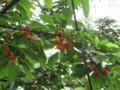 さくらんぼの木1