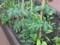目黒atreたたみ一畳農園 ミニトマトの木