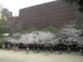 新町北公園のサクラ 大阪厚生年金会館側