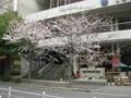大阪厚生年金会館前のサクラ