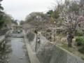 夙川公園のサクラ