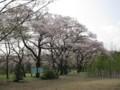 サクラ 武蔵野公園付近