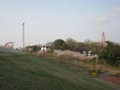 サクラ 狭山公園から遊園地側