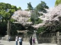 靖国神社 サクラ