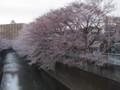 神田川(小滝橋付近)のサクラ
